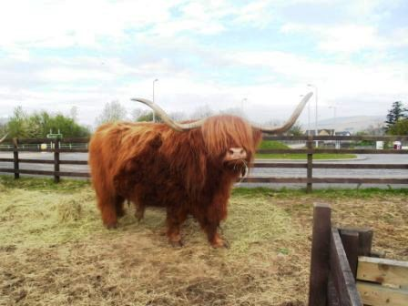 14 schottisches Rindvieh