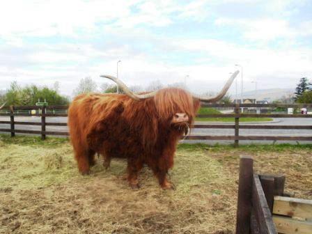 5 schottisches Rindvieh